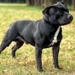 American Bull Terrier Characteristics